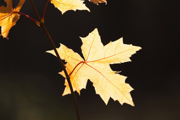 Yellow maple leaves on branches at fall