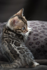 Bengal Kitten relaxing