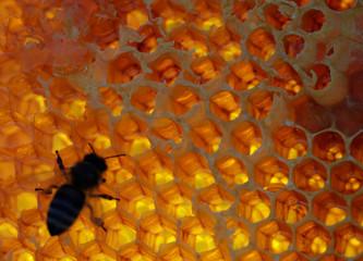 A bee is seen on a honeycomb at the apiary of beekeeper Anna Lobyntseva in Belgorod region