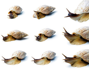 Giant african snail isolated on white background. Set of a giant african snail.