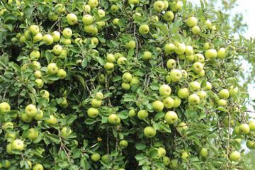 Wall Murals Grocery Appels aan appelboom