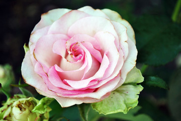 White rose with pink center blooming bud on green bush, petals close up detail, soft blurry bokeh background