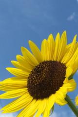 ひまわりと青空と白い雲 - Sunflower with blue sky background