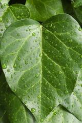 雨に濡れた緑の葉 - Green leaves in the rain
