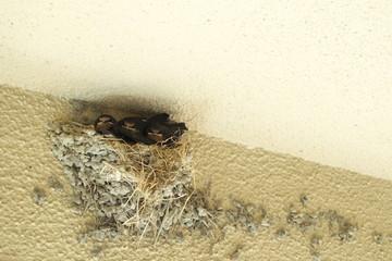 ツバメのこどもたち - Little swallows in the nest