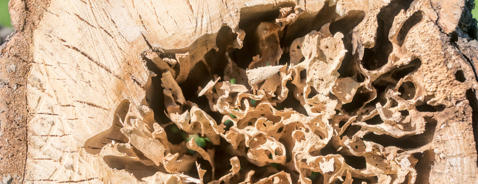 Log damaged by a worm. wood, large beetles in it