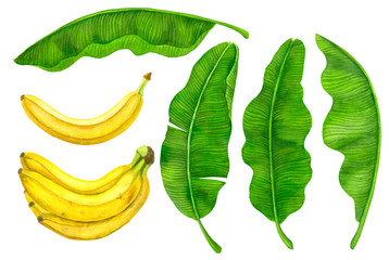 Collection of banana fruit and leaves painted with watercolors and isolated on white background.