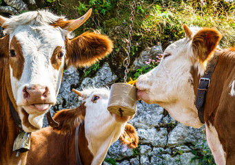 Wall Mural - salt licking cows