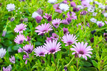 beautiful field of group growing african daisies Dimorphotheca, Osteospermum like background in nature