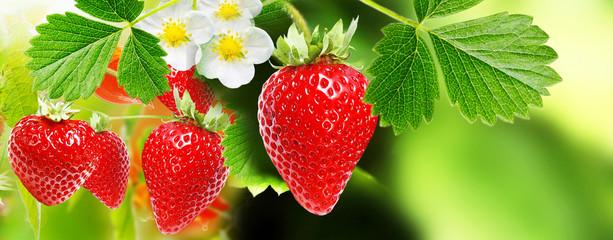 berry garden summer.strawberries