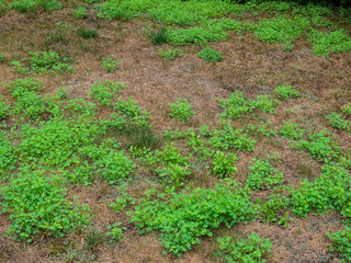 Unkempt garden yard with crab grass and clover weeds