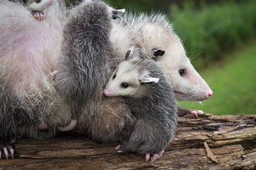 Wall Mural - Opossum Joey (Didelphimorphia) Curls Up Next to Mother