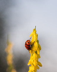 Multicolored Asian lady bug beetle