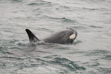 Baby Orca Raises Its Head, Icy Strait, Alaska