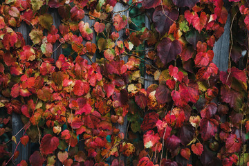 Red leaves of autumn tree