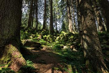 Wald in den Kitzbühler Alpen, Österreich
