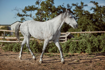 Thoroughbred horse in a pen outdoors and