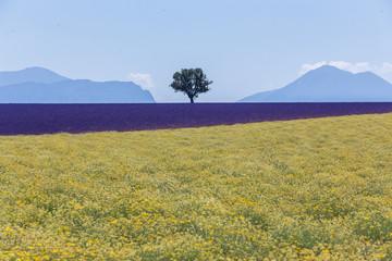 champs de lavande et de colza en provence