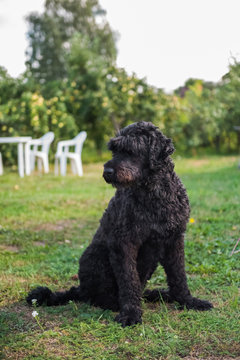 funny black Russian terrier dog is on the green grass