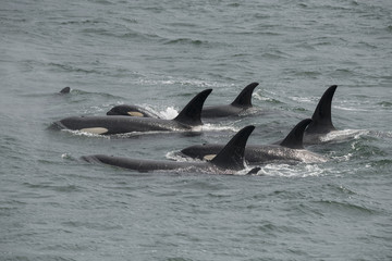 Orca Pod, Icy Strait, Alaska