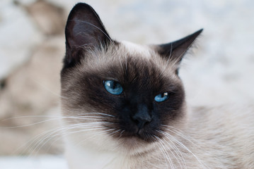 Beautiful Siamese Purebred Cat with Blue Eyes - Pets Care Concept