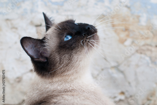 Beautiful Siamese Purebred Cat with Blue Eyes - Pets Care