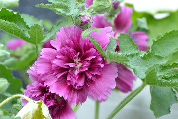 Closeup photograph of a pink common hollyhock flower.