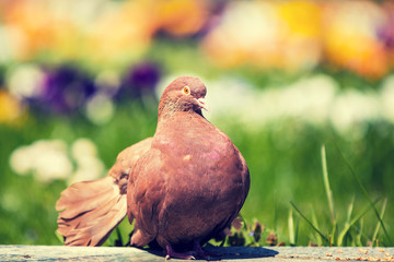 Mail dove sitting outdoors in the garden in summer