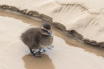 Eider Duck Chick