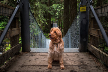 A Labradoodle sitting at the entrance to a suspension bridge in a forest.