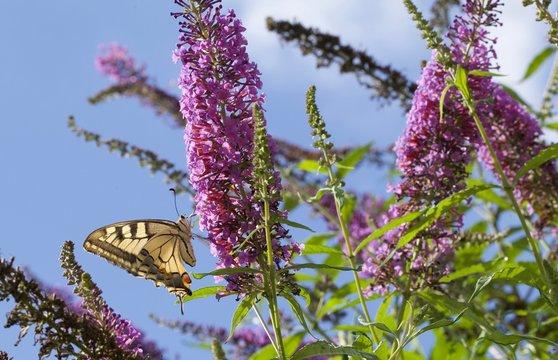 fiori a pannocchia della pianta Buddleja davidii (pianta delle farfalle) con farfalla Papilio machaon (macaone)