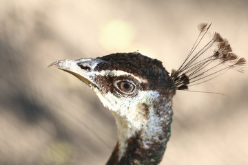 Portrait of a proud female Guinea fowl on blurred brown background