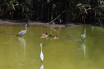 Two ducks swimming in green water swamp. Around them the circle created by the three egrets is narrowed..