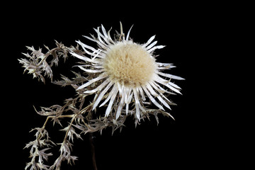 Dried dwarf thistle (Cirsium acaule) over the black background,