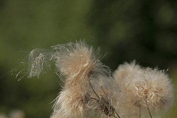 the natural background - fluffy seeds of plants