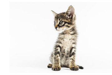 Grey eyed tabby kitten looking to left side, white background with blank