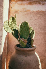 Paddle cactus in a ceramic pot against a red wall in medina of Marrakech, Morocco.