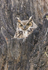 Great Horned Owl in Colorado