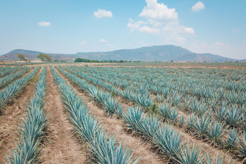 The tequila plant - Blue agave fields in Jalisco, Mexico