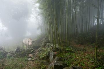 White water buffalo in bamboo forest near Sapa, Vietnam