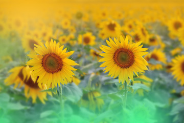 Incredibly beautiful Nature.Art photography.Fantasy design.Creative Background.Amazing Colorful Sunflowers.Field.Banner.