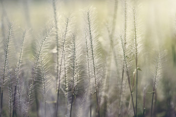 Gramineae grass in nature.