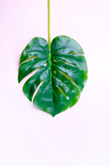 monstera green tropical leave on light pink background with copy space
