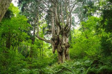 隠岐島後岩倉の乳房杉
