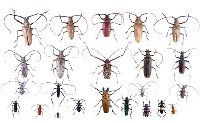 The Pine sawyer beetles on the white background