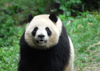 close up on giant panda sitting outdoor