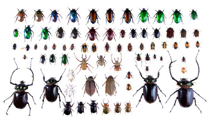 Arlequin beetles on the white background