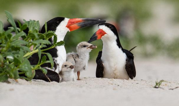 Black Skimmer Family