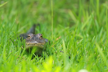 Young Alligator Basking in the Grass / Florida Wildlife