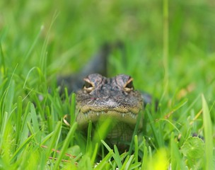 Low Perspective of a small young alligator in the grass of the Florida Swamp